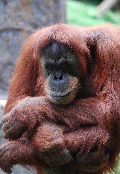 Hannah Jaicks - Of Primates and Personhood - Dewey