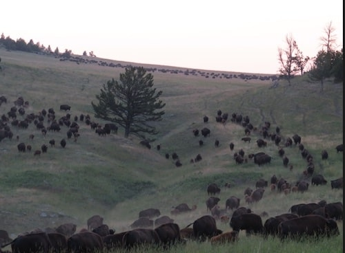 Hannah Jaicks_Research Outdoor Adventures and Yellowstone_Bison Sunset
