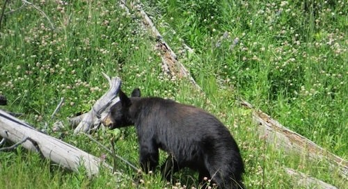 Hannah Jaicks_Research Outdoor Adventures and Yellowstone_Black Bear