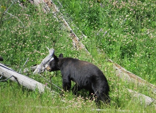 Hannah Jaicks_Research Outdoor Adventures and Yellowstone_Black Bear